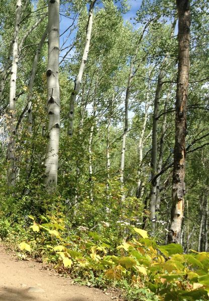 Wide, easy trail through the aspens