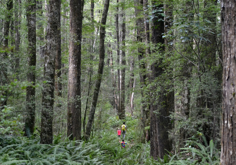 Magnificent beech forest along the Glacier Burn Track