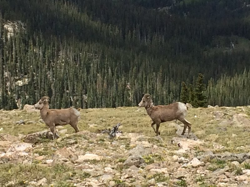 Big Horn ewes on the move, near the Lake Peak Traverse Trail.