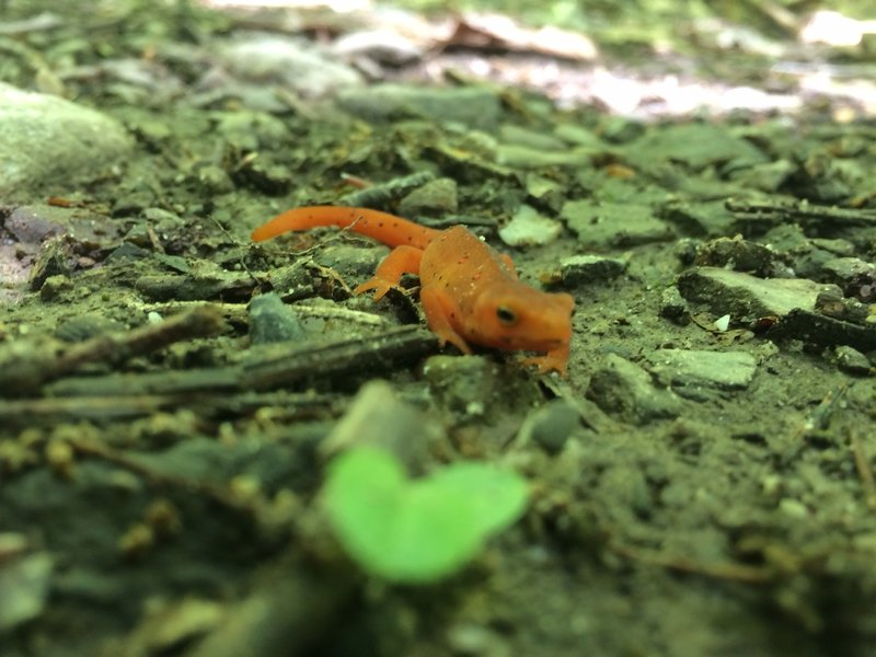 Red Newts live here