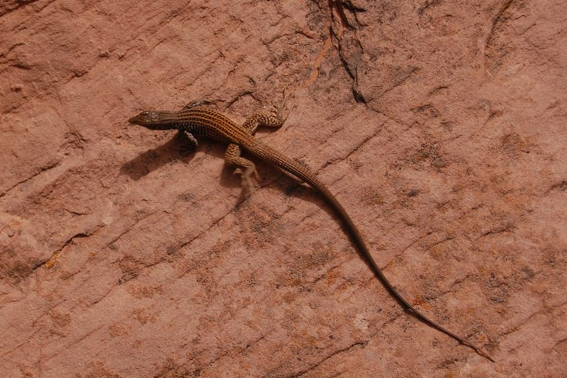 Reptilian desert wildlife on Negro Bill Canyon Trail