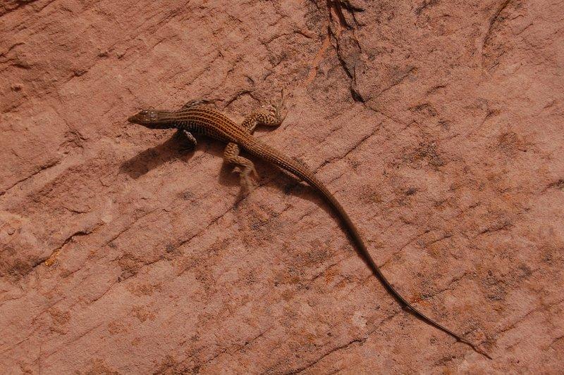 Reptilian desert wildlife on Negro Bill Canyon Trail