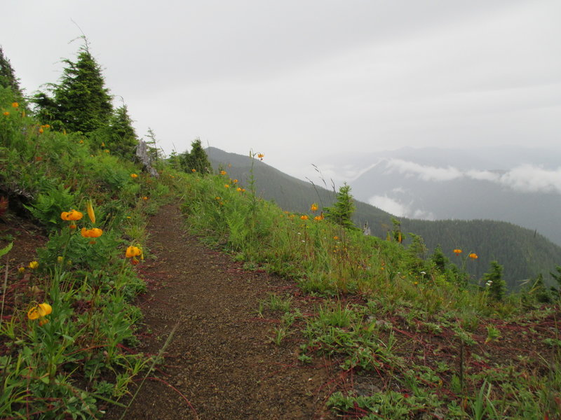 Lilies blooming in early July along the Mount Muller trail.
