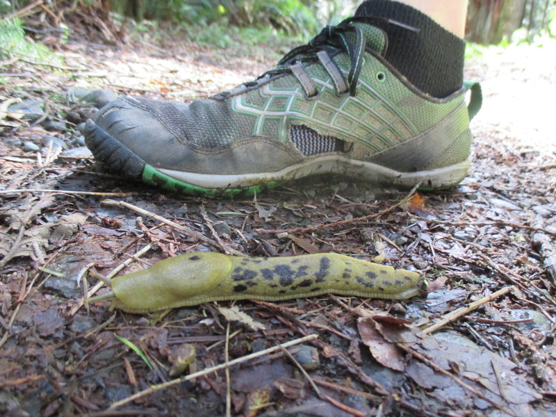 Everything grows huge on the Little River Trail, especially the slugs.