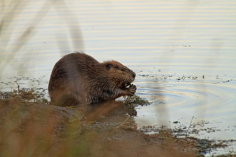 Burford beaver along the Burford Lake Trail