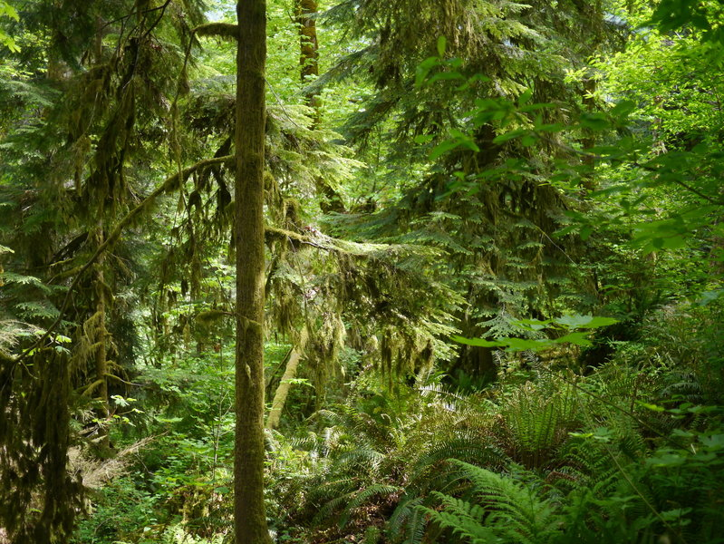Ferny mossy forest along the West Elwha Trail (Photo by bensonk42)