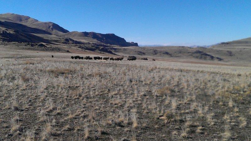 Buffalo herd as seen from the White Rocks Loop Road