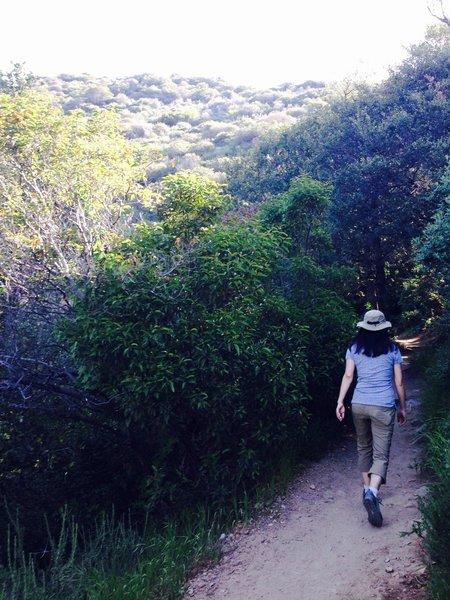 Lush live oaks - beware poison oak here!  On the Echo Mountain Trail