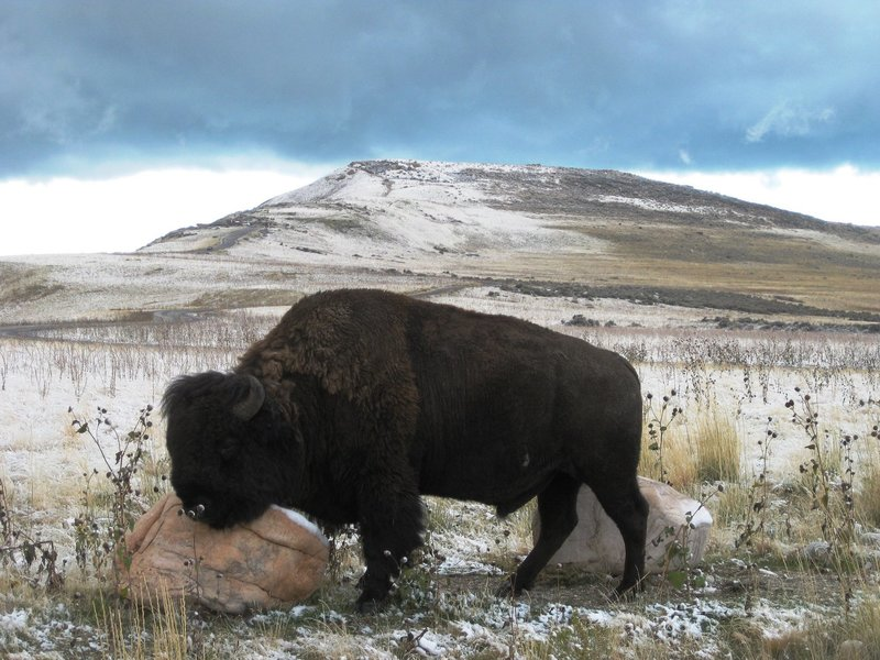 One of the many buffalo on the East Side Trail of Antelope Island. I really didn't like getting this close!