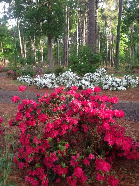Azaleas in springtime bloom at the parking area