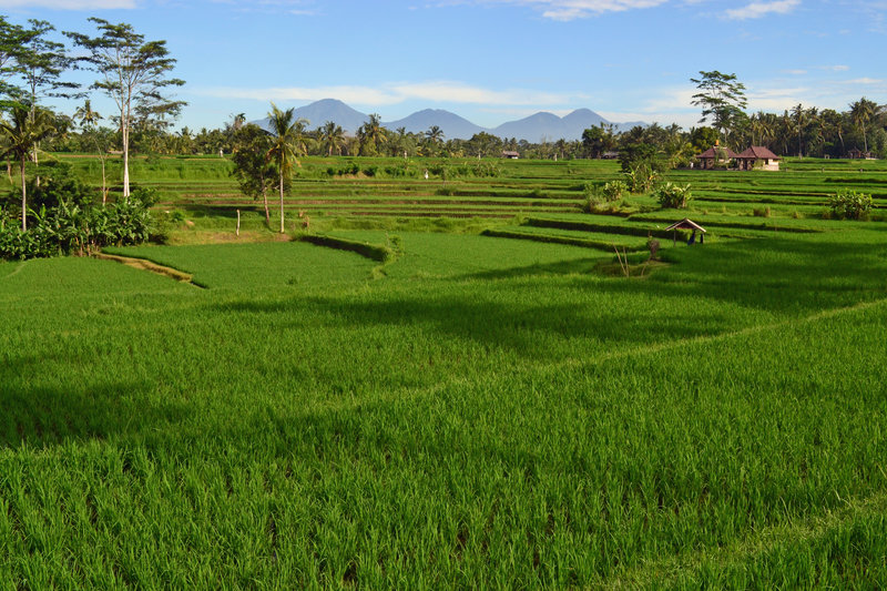 Terraced rice fields with Bali's volcanoes above.