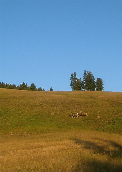 Deer on the Gallatin Crest Trail