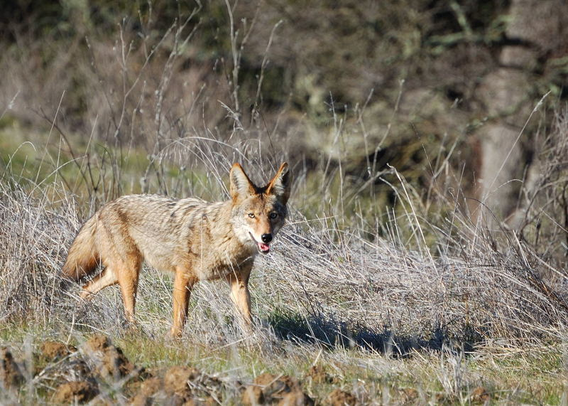 Arastradero coyote