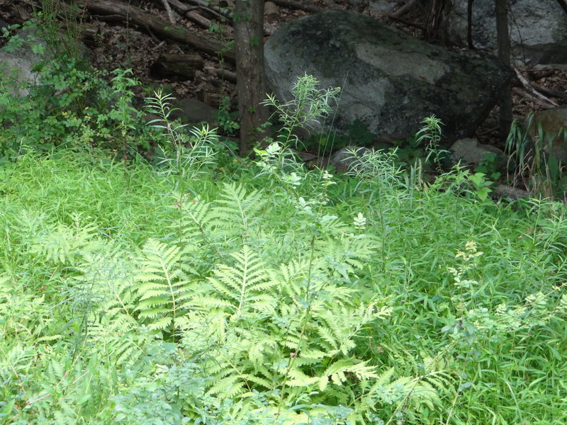 Fern vegetation near the Gunks.  On the Gertrude's Nose Trail