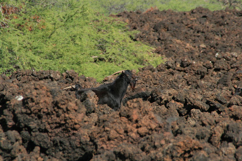 Goats in the lava flow.