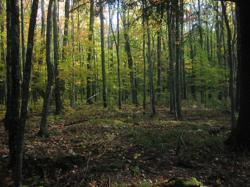 The thick deciduous forest of the North country.  On the Cross Trail