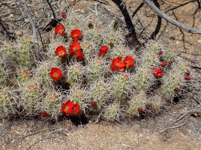Mojave Mound Cactus in bloom along the Wall Street Mill Trail.