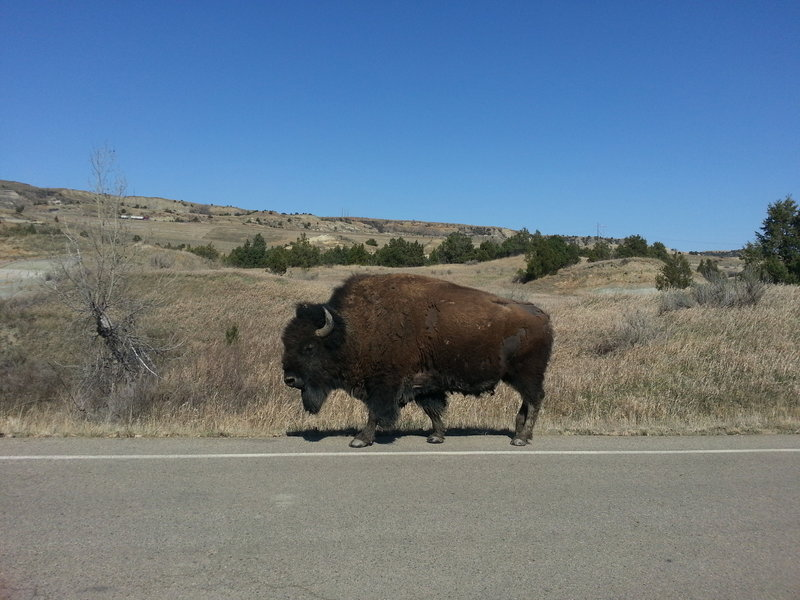 Bison sauntering down the road.