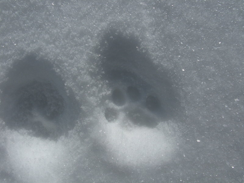 Finding wild cat footprints in the snow makes an exciting winter find.