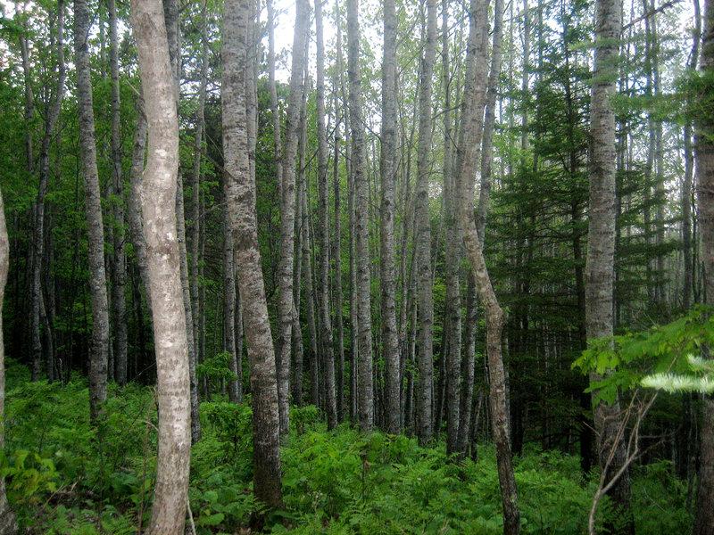 Deciduous trees in the Northwoods.