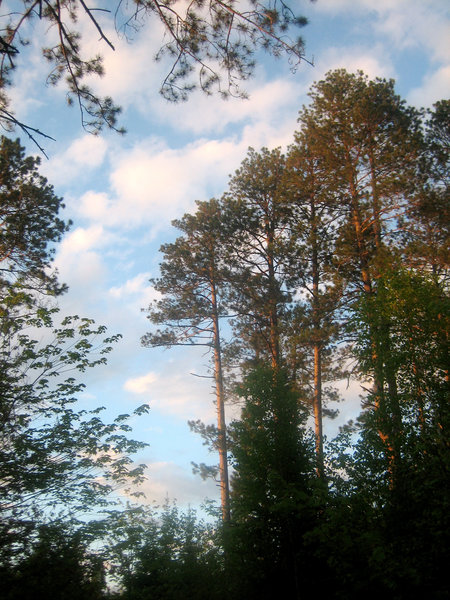 Conifers on the North Country Trail