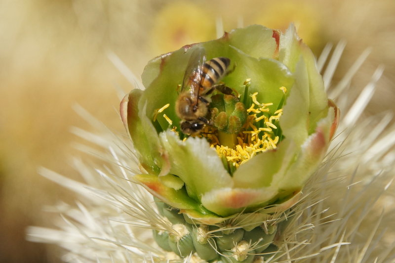 Bees in cacti blossoms.