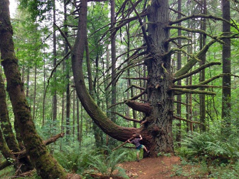 Powder House Trail - Best tree in McDonald Forrest