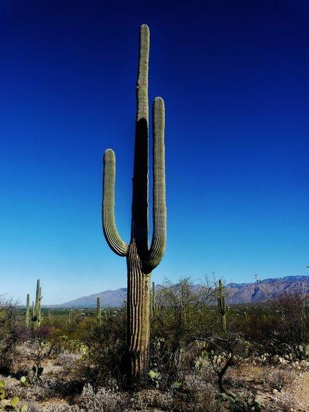 Big cactus in Saguaro Wilderness