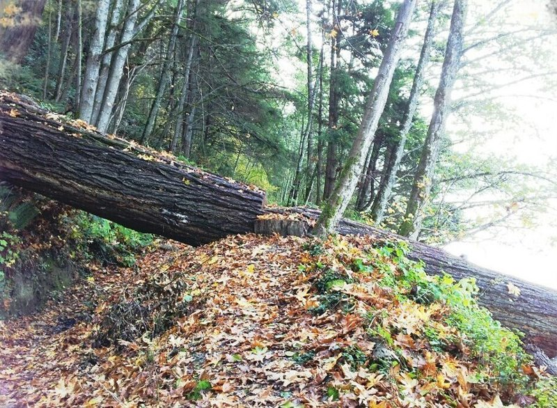 North Lake Whatcom Trail passes under and over large downed tree
