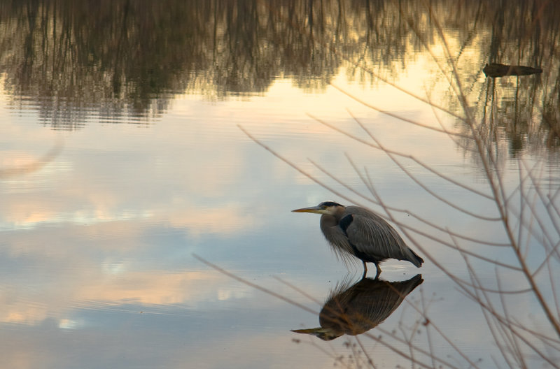 Great Blue Heron and Clouds