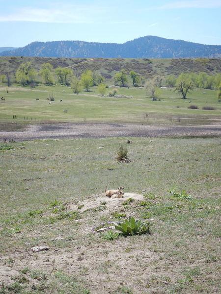 Prairie dogs are ubiquitous around here