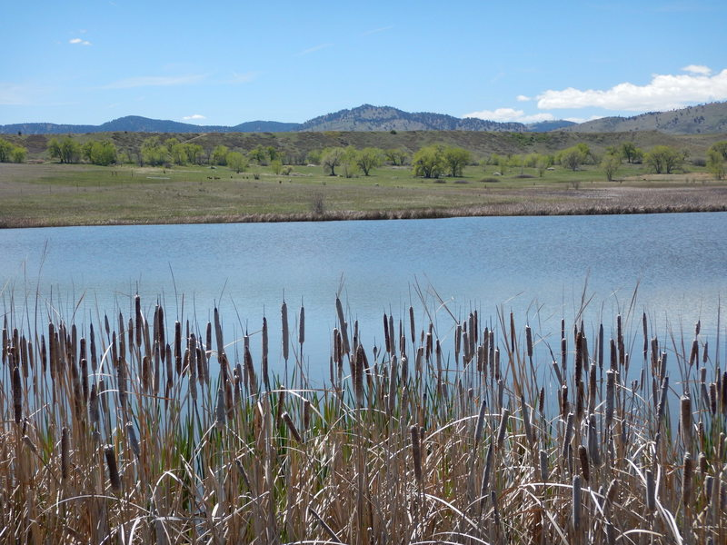 Cattails by Pond #1