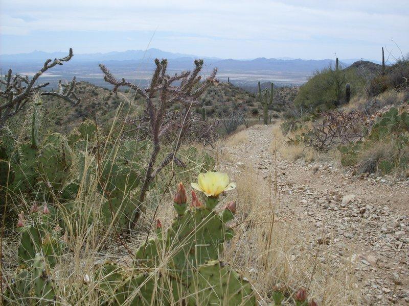 Cacti blossoms over Tucson.