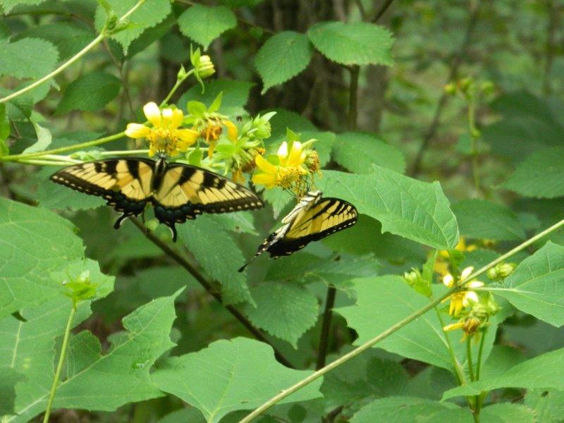 Butterflies on Monte Sano