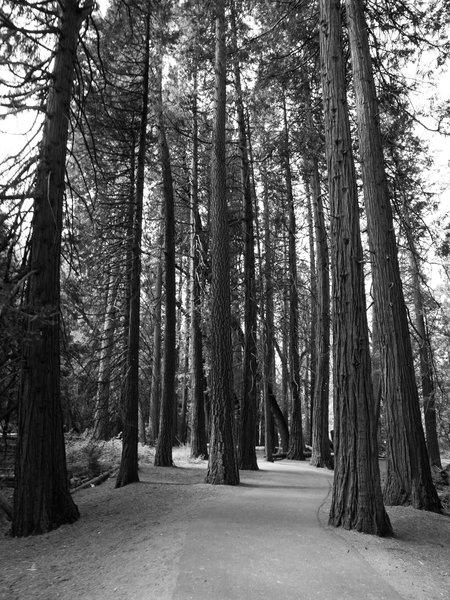 Tall trees along Lower Yosemite Falls Trail.