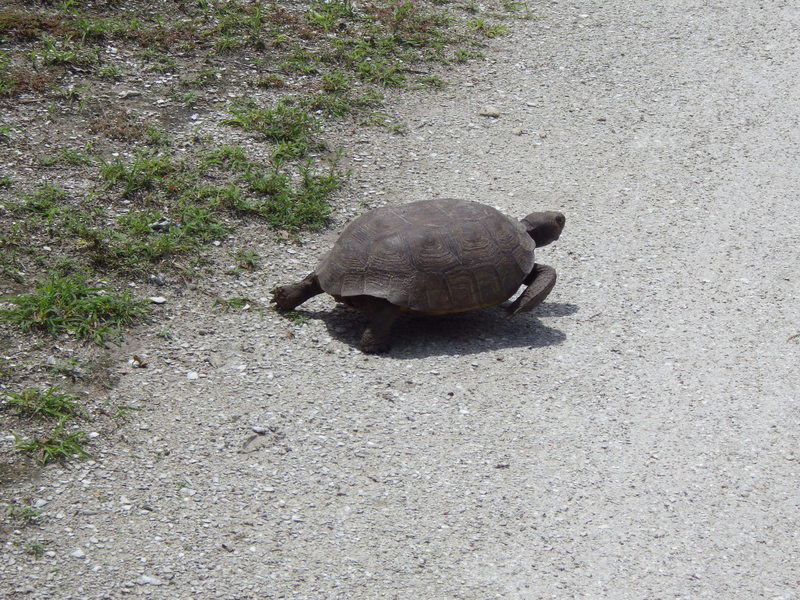 Gopher tortoise crossing the trail!