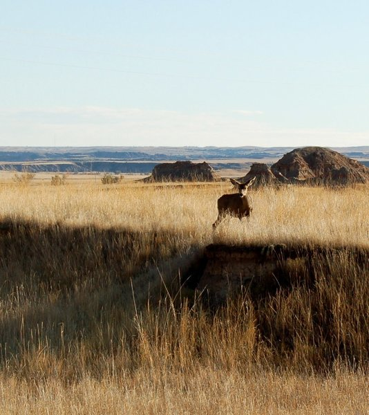 There are deer in the Badlands.