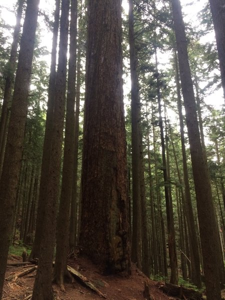 The second giant fir off the Brothers Creek Fire Trail