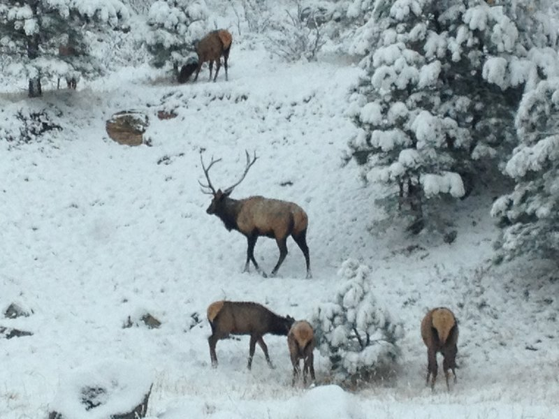 An elk herd in Genesee Park.  Great place for cross country skiing too.