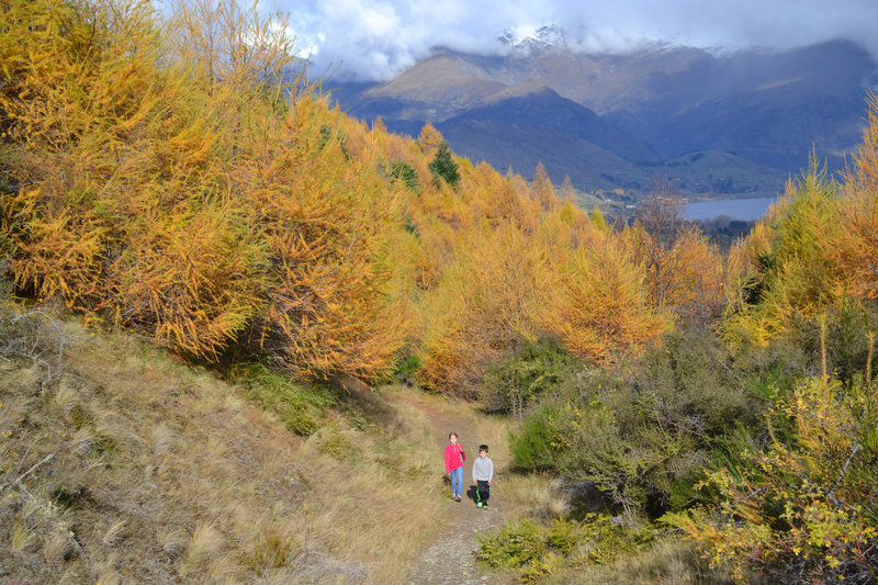 Larch forest above Arrowtown