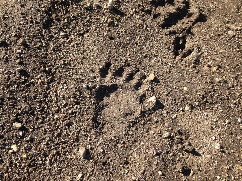 YES..that is a bear paw print! Seen on 12/6/14. You can also see a deer hoof print on the upper right corner. Looks like he was following the dear!