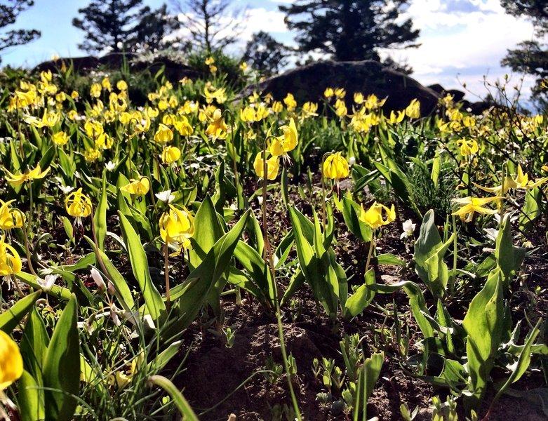 Glacier Lily along the Corbly Gulch Trail