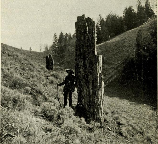 A very old of photo of one of the petrified trunks.