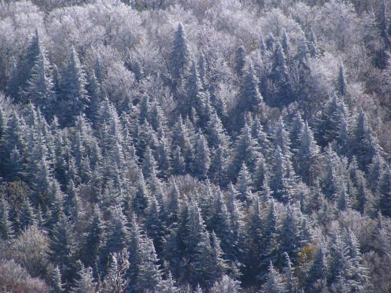 Snow covered hemlocks