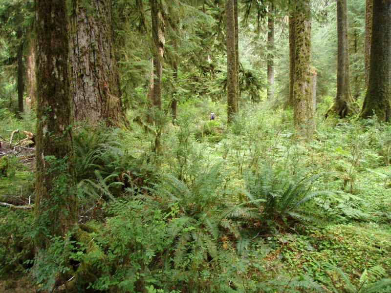Hoh River mosses and ferns (photo by Reba Bear)
