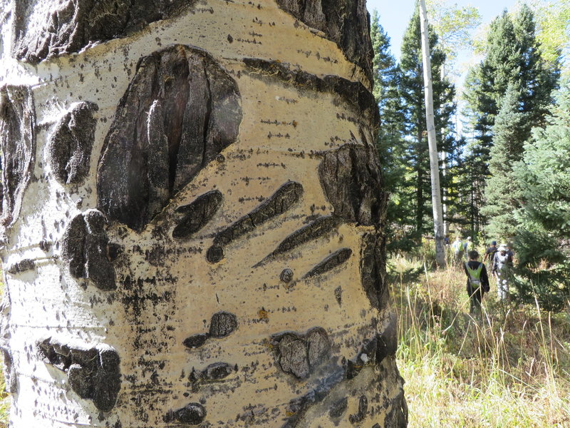 When hiking through a grove of aspen, it is fun to find old bear claw marks.