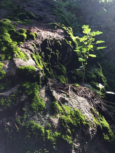 The steep walls of Shadow Canyon provide a cool respite from the heat - and the mosses love it!