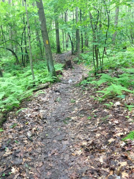 A rare smooth patch of trail, trampled by 2015 Laurel Ultra race competitors.