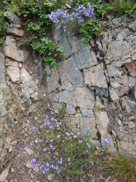 Bluebells galore on this cliffside