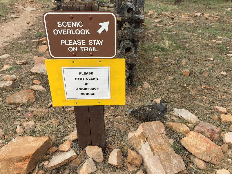 A sign warning of an aggressive grouse and the aformentioned aggressive grouse.